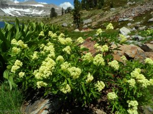 Corn lily at base of Gaylor Peak