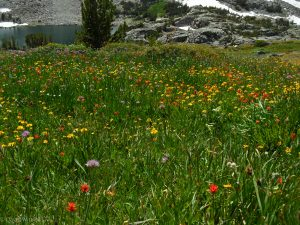 Wildflower garden above Granite Lakes