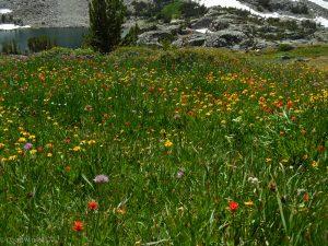Wildflower garden above Granite Lakes