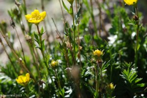 Alpine Avens, Mt. Wheeler, New Mexico