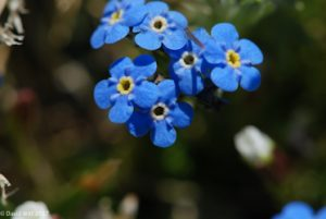 Alpine Forget-Me-Not, Mount Wheeler, New Mexico
