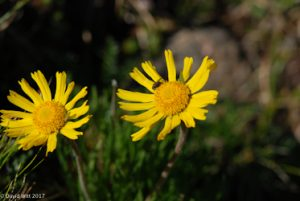 Alpine Sunflower, Mount Wheeler, New Mexico