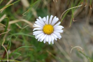 Daisy, Mt. Wheeler, New Mexico