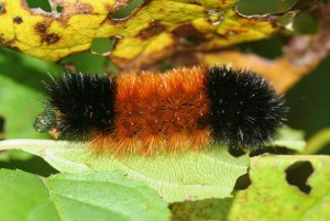 800px-IC_Pyrrharctia_isabella_caterpillar