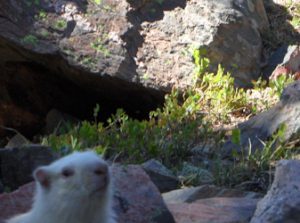 Albino Marmot, Mount Wheeler, New Mexico