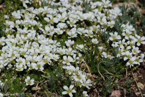 Arctic Sandwort, Mt. Wheeler, New Mexico