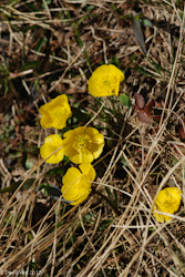 Buttercups, Mt. Wheeler, New Mexico