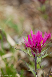 Hayden's Paintbrush, Mt. Wheeler, New Mexico