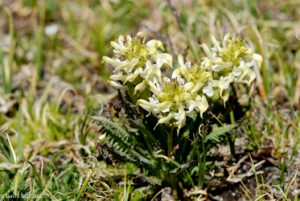 Parry Lousewort, Mt. Wheeler, New Mexico